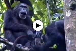 schimpansenwald